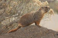 flaviventris marmota rockchuck zdjęcia royalty free