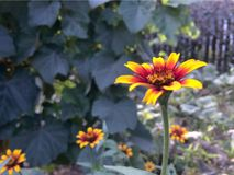 Motley flowers in the autumn. In the garden near the wooden fence Royalty Free Stock Image