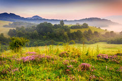Flavored morning. Savory flowers in dew on the meadow in the mountains of the cool early morning Stock Photo