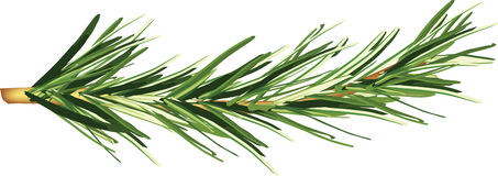 Flavored plant. Green branch of an aromatic plant rosemary Royalty Free Stock Photo