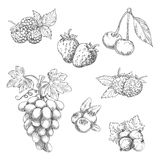 Flavorful fresh garden fruits with leaves sketches. Flavorful fresh garden strawberries, grape vine with tendrils and bunch of ripe grapes, raspberries, cherries Stock Photo
