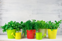 Flavoring greens in buckets. Bunches of flavoring greens, lettuce and spinach in colorful metallic buckets with watering cans on rustic wooden background royalty free stock photo