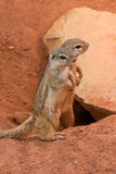 flavovittis研了paraxerus灰鼠镶边 免版税库存照片