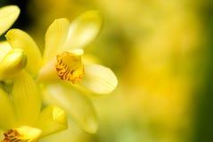 flavus phaius λουλουδιών Στοκ Φωτογραφίες