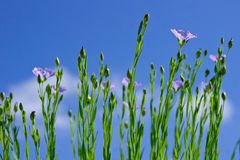 Flax Royalty Free Stock Images