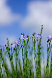 Flax Royalty Free Stock Image
