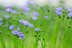 Flax Royalty Free Stock Photo