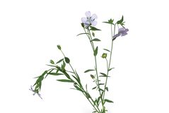 Flax stock images