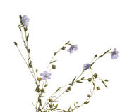 Flax. Dry and fresh flax on white background Royalty Free Stock Photo
