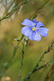 Flax. Flower flax, garden flower close-up Royalty Free Stock Photography