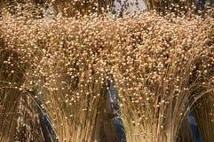 flax foto de stock royalty free