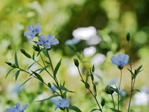 flax imagem de stock