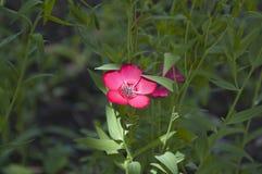 flax fotografia de stock royalty free