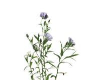 flax imagem de stock royalty free