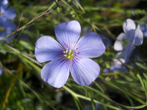 Flax blooms Stock Photo
