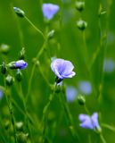 Flax blossoms Royalty Free Stock Images