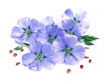 Flax blue flowers Royalty Free Stock Image