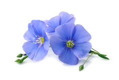 Flax blue flowers . Flax blue flowers closeup on white backgrounds royalty free stock images