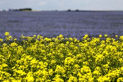 Flax and canola crop Stock Photos