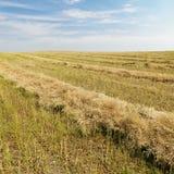 Flax crop after harvest. stock photos