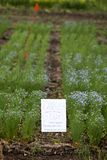 Flax Crop Saskatchewan Stock Photo