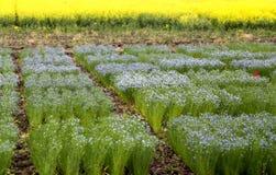 Flax Crop Saskatchewan Stock Images