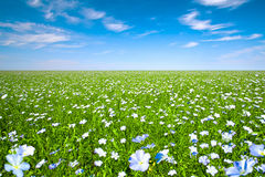 Flax field. With blue sky on a sunny day royalty free stock photography