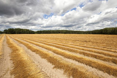 Flax field . autumn Royalty Free Stock Photography