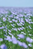 Flax field blooming, flax agricultural cultivation. Stock Images
