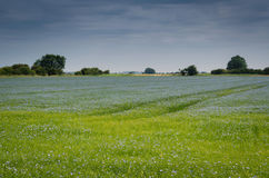 Flax field. Creates sea of blue flowers Royalty Free Stock Image