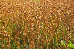 Flax field Royalty Free Stock Photography