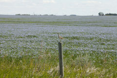 Flax field in Saskatchewan, Canada. Flax field in the canadian prairies of Saskatchewan in Canada. Sandpiper resting on the post Royalty Free Stock Photography