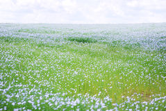 Flax field Royalty Free Stock Images