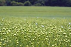 Flax Stock Photo
