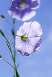 Flax flower Royalty Free Stock Images