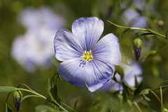 Flax flower Stock Photography