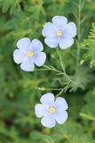 Flax flower. The close-up of three flax flowers. Scientific name: Linum perenne Stock Photos