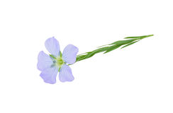 Flax Flower Royalty Free Stock Photos