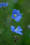 Flax flower on  field Stock Image