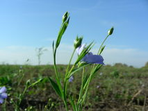 Flax flower at field stock photo