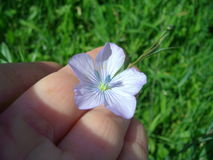 Flax flower Stock Photo