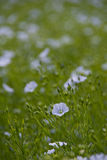 Flax flower,Linum perenne 'Sapphire' Stock Photo