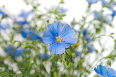 Flax flower Stock Image