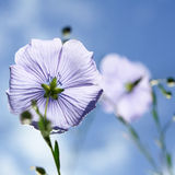 Flax flowers Royalty Free Stock Image