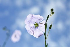 Flax flowers Stock Photography