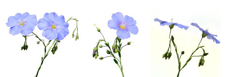 Flax flowers. On a white background Royalty Free Stock Photos