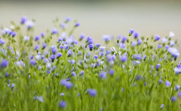 Flax flowers Royalty Free Stock Images
