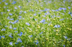 Flax flowers. Blue flax flowers in crop field Stock Photos