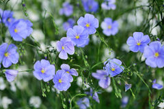 Flax flowers Royalty Free Stock Photo