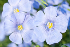 Flax flowers close Stock Photos